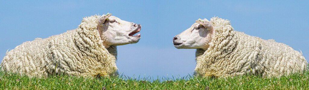 Zwei Schafe unterhalten sich. Symboldbild für den Artikel Die 5 größten Irrtümer zu RESTART21