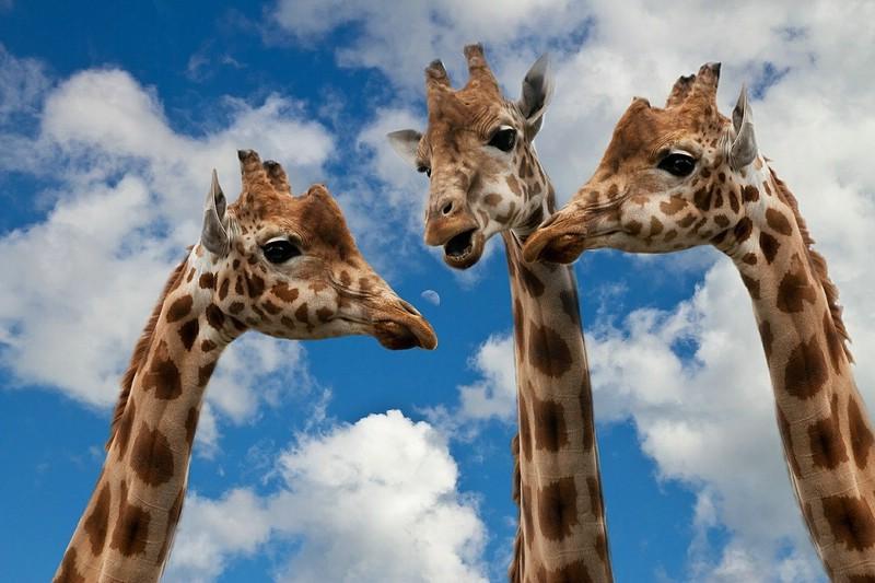 Einfach mal reden.... Symbolbild mit 3 Giraffen vor Wolken und Himmel
